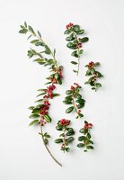 Twigs of red berries