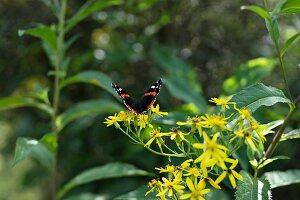 Butterfly on yellow flowers in garden