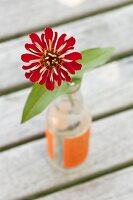 Zinnia with red petals in glass vase on slatted wooden surface