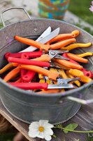Many sets of secateurs and knives with orange, red and yellow handles in zinc tub on weathered wooden surface