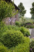 Box bushes and flowering iris in garden