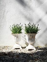 Lavender in white planters against white façade