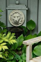 Hostas below lion-head water spout on wooden wall