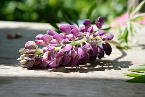 Purple lupin on wooden table in garden