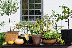 Potted plants, olive trees and pumpkins on table outdoors in front of house façade with lattice window
