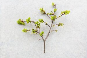 Oak twig with young leaves on pale surface