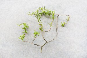 Contorted willow twig with young leaves