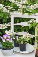 Pots of herbs and violas on white wooden chair under Viburnum plicatum in garden