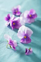 Purple violas on blue cloth