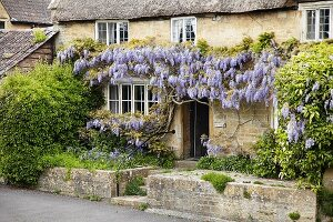 Wisteria-covered front facade of old, English country house