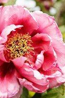 Deep pink peony