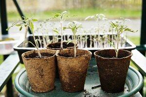 Seedlings in biodegradable pots on planter saucer