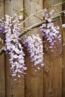 Wisteria racemes against wooden facade