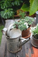 Zinc watering can and potted plants on old table in garden