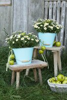 Enamel buckets of ox-eye daisies and green apples on vintage stools