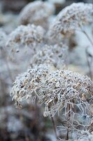 Faded hydrangea flowers covered in frost