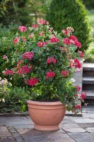 Red-flowering, ivy-leaf trailing geranium (Pelargonium peltatum) grown climbing up support