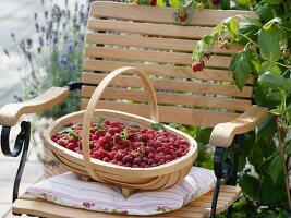 Korb mit frisch gepflückten Himbeeren auf Gartenstuhl