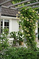 Plant climbing over wooden pergola in front of flowering rose bush and house façade
