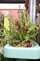 Carnivorous sarrancenia trumpet pitcher plants and ferns planted in a vintage sink
