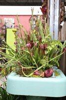 Fleischfressender Pflanze Sarracenia, in ehemaligem Waschbecken als Pflanzenbehälter