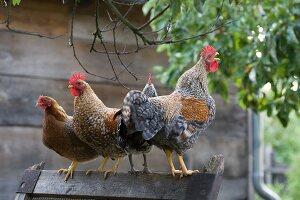 Nebeneinander stehende Hühner mit krähendem Hahn auf Holzgestell in bäuerlichem Ambiente