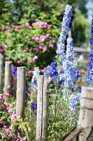 Flowering delphiniums in sunny cottage garden
