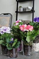 German primroses of different colours in glass planters