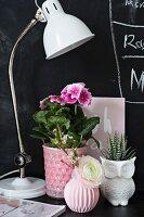 German primrose, ranunculus and Haworthia next to desk lamp