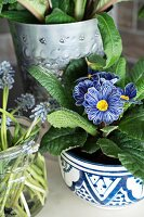 Grape hyacinths and primrose 'Zebra blue'
