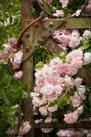 Pink climbing rose scrambling through wrought iron gate