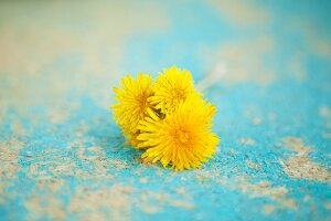 Dandelion flowers on turquoise surface