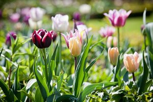 Purple, yellow and white tulips