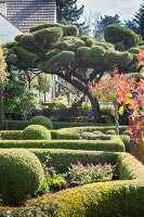 Box hedges and cloud-pruned tree in well-tended garden