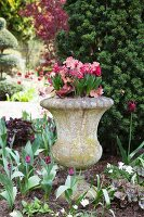 Stone urn planted with spring flowers in flowerbed