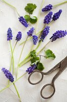 Grape hyacinths and vintage scissors on table