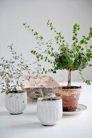 Bonsai-Bäumchen im Terracottatopf neben weißen Töpfchen