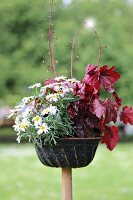 Ox-eye daisies and red-leafed heuchera planted in old bundt cake tin in garden