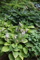 Perennial plant with purple flower spikes (hosta) in garden