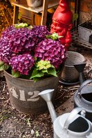 Arrangement of hydrangeas in zinc bucket, zinc watering can and red garden gnome in garden