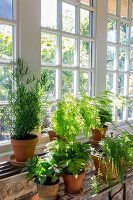 Green plants in front of lattice windows