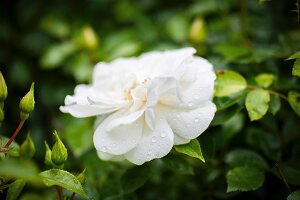 Droplets of water on white rose in garden