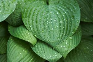 Raindrops on heart-shaped hosta leaves