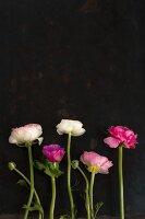 Ranunkelblüten vor schwarzem Hintergrund