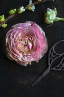 Pink ranunculus flower and branch of cherry blossom on black surface