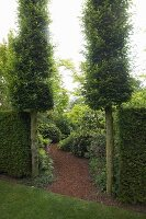 Mulched garden path flanked by two hornbeam columns and clipped rectangular hedges