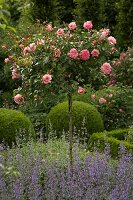 Standard rose in lavender bed in front of box balls
