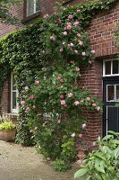 Roses and ivy climbing over brick façade