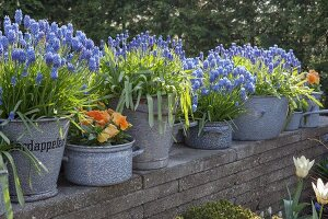 Grape hyacinths and violas planted in old enamel pots and buckets on top of wall