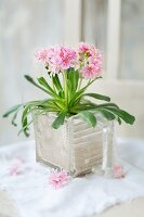 Lewisia planted in old glass kitchen scoop filled with sand